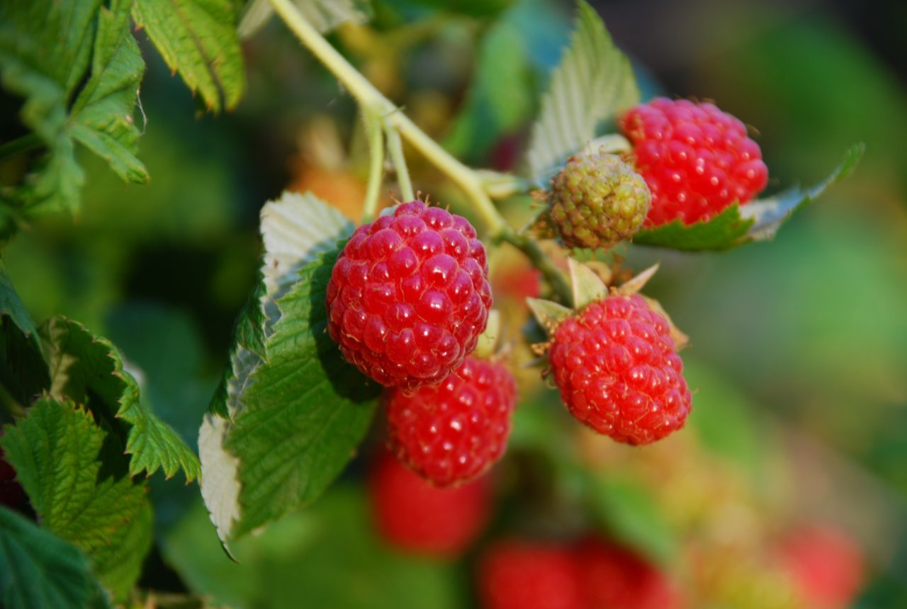 Diseases of raspberries and struggle with them. Raspberry Care 88
